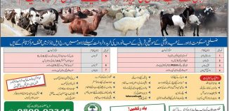 Sales Point For Eid Ul Adha Sacrificial Animals In Lahore