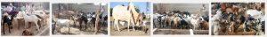 Sales Point For Eid Ul Adha Sacrificial Animals In Lahore Bakra Mandi Cow Mandi 2016