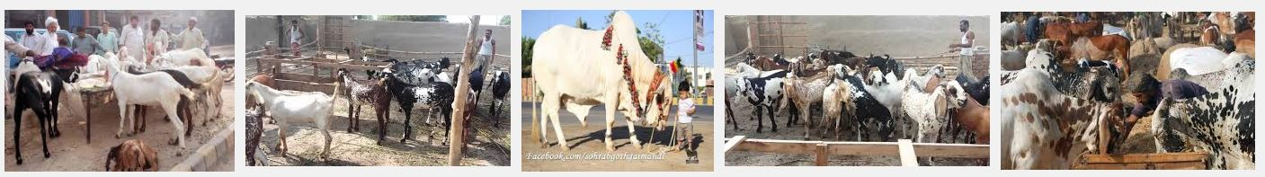 Sales Point For Eid Ul Adha Sacrificial Animals In Lahore Bakra Mandi Cow Mandi 2016